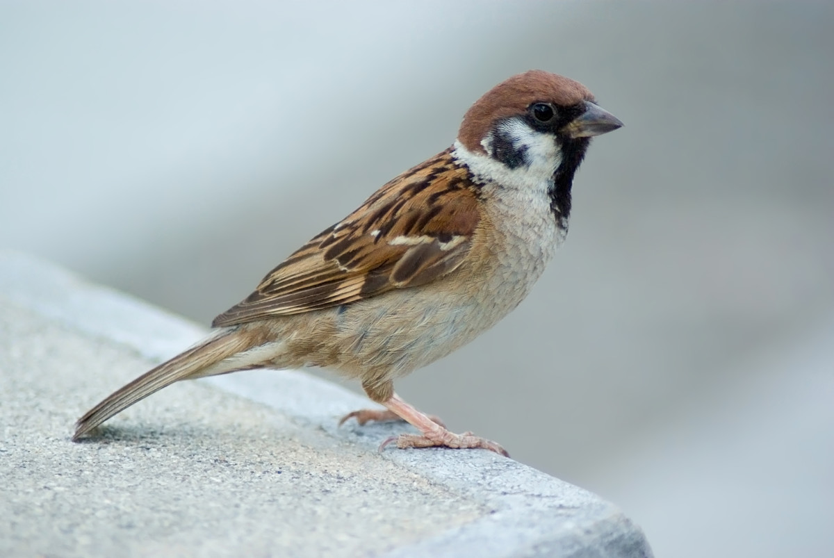 The Tree Sparrow