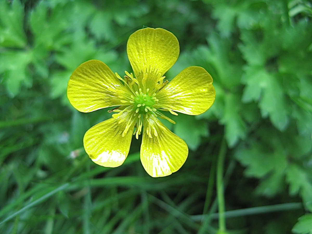 An older buttercup flower