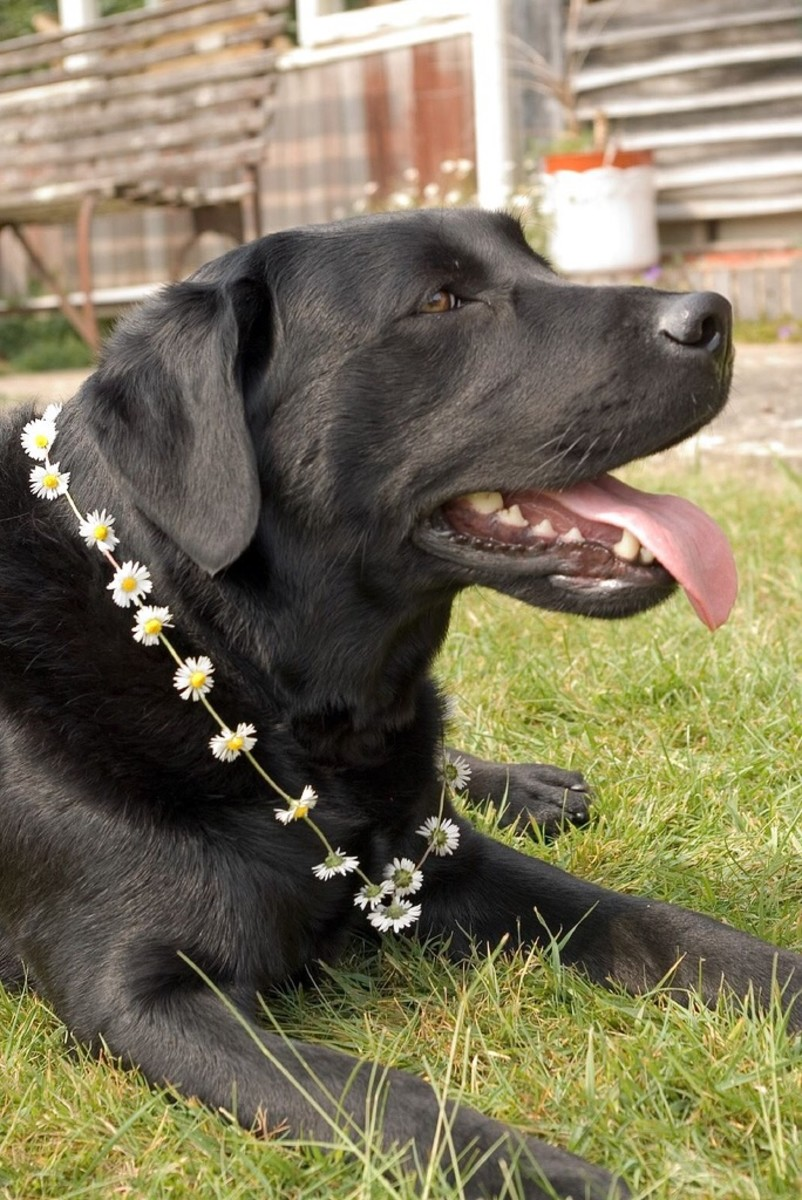 A Labrador retriever wearing a daisy chain