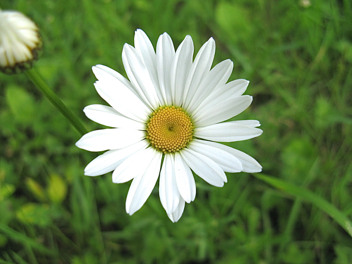 A larger relative of the common daisy