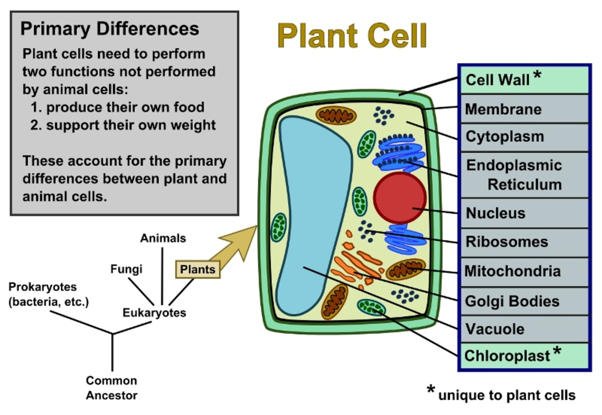 Plant cells vs animal cells with diagrams owlcation diagram of an plant cell ccuart