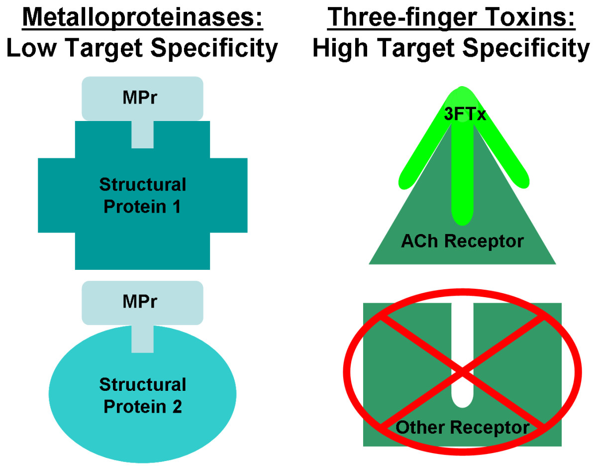 "This compares the ""general"" proteinase activity of some metalloproteinases against structural proteins to the highly specific activity of some three-finger toxins against acetylcholine receptors."