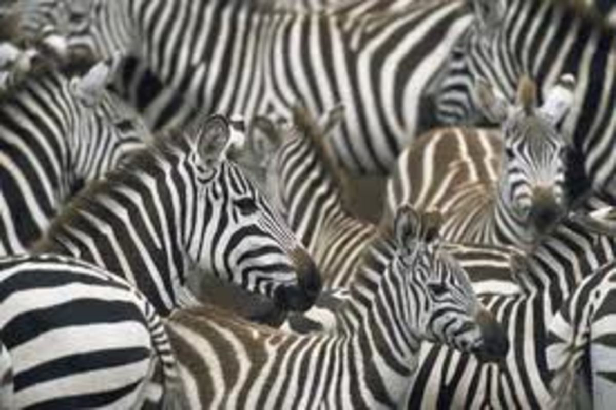 Zebra Herd Sheltering Baby