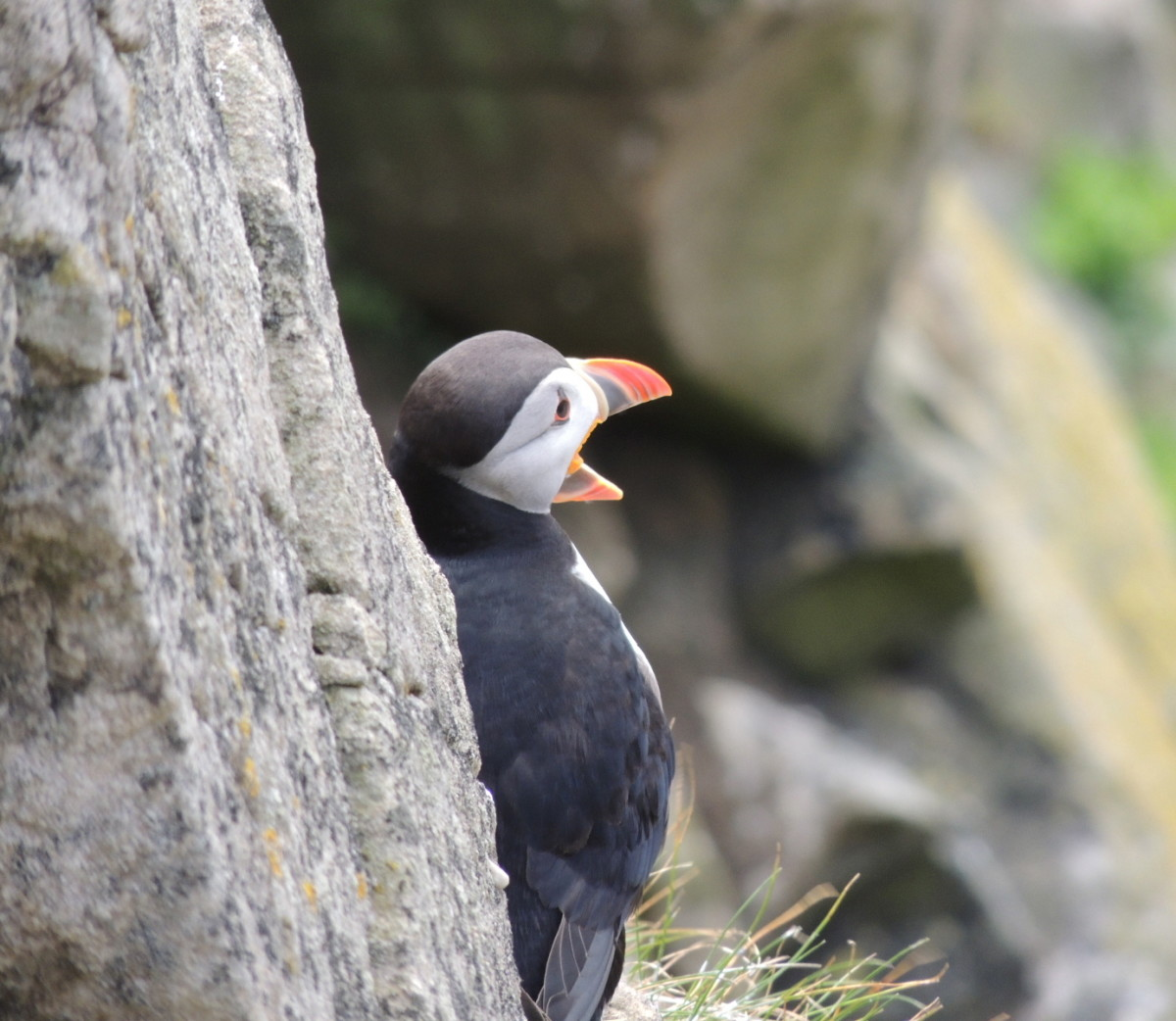 fun-facts-about-puffins