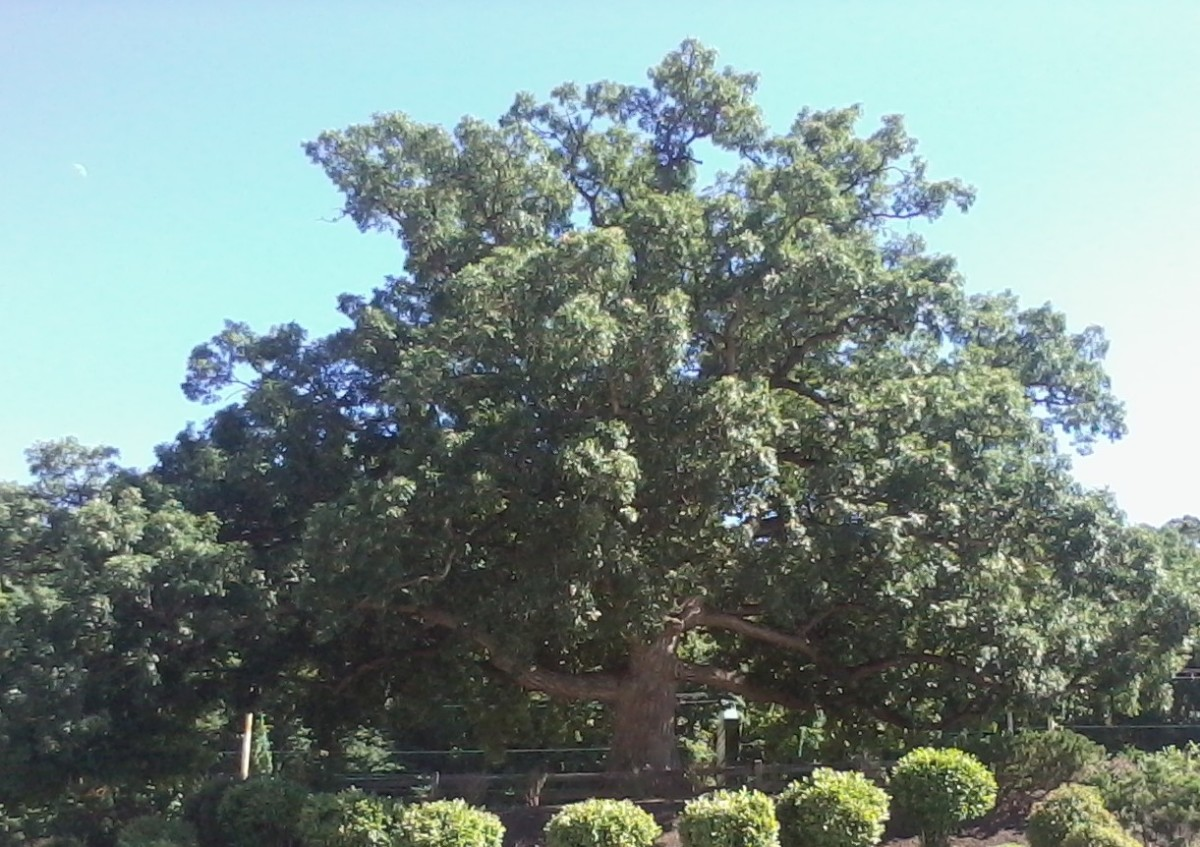Pictured is an enormous eastern white oak growing on the edge of a parking lot near my home.