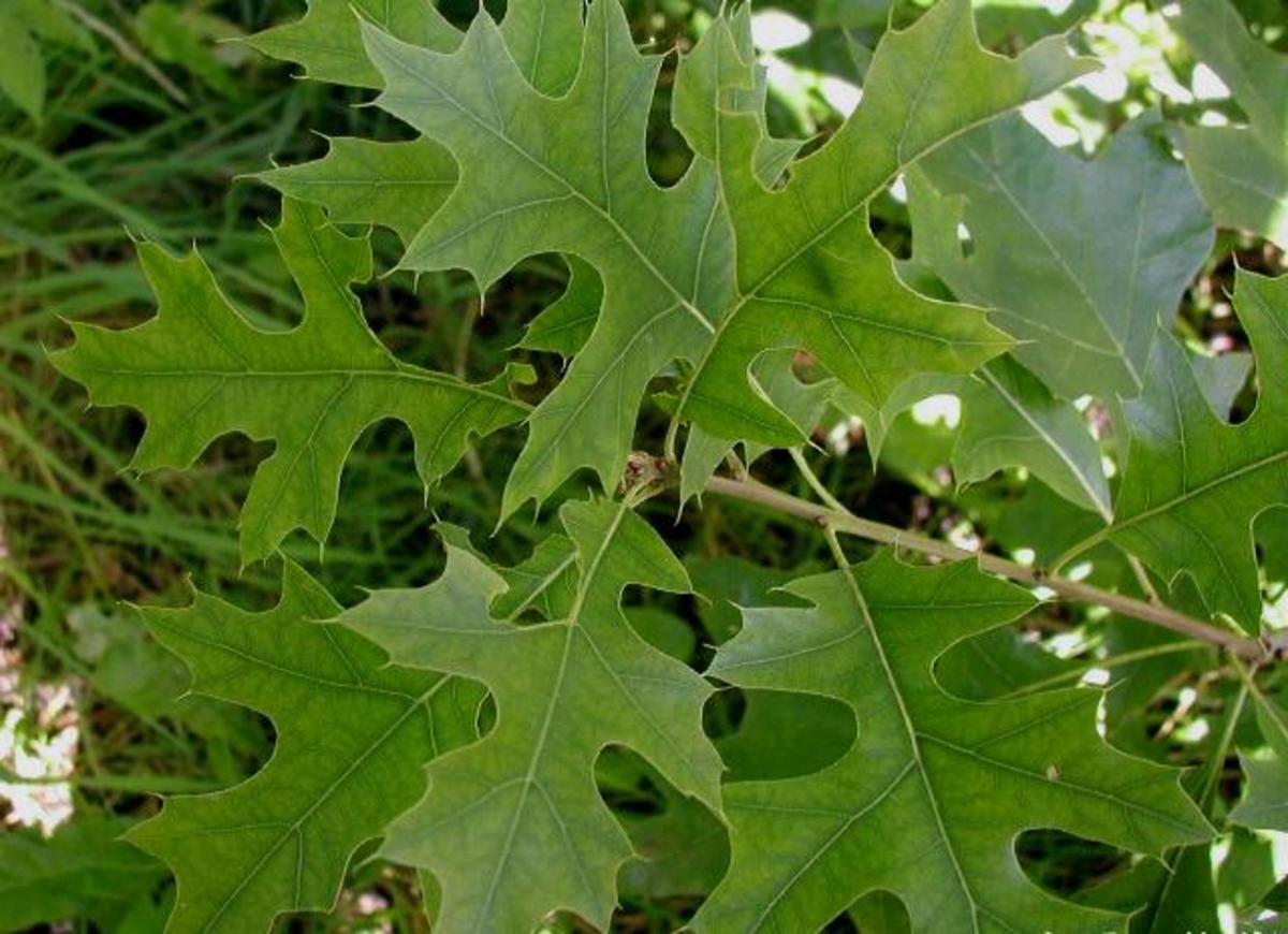Pin Oak Leaves
