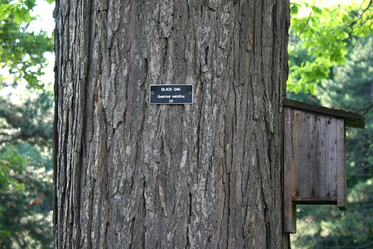 Black Oak Bark