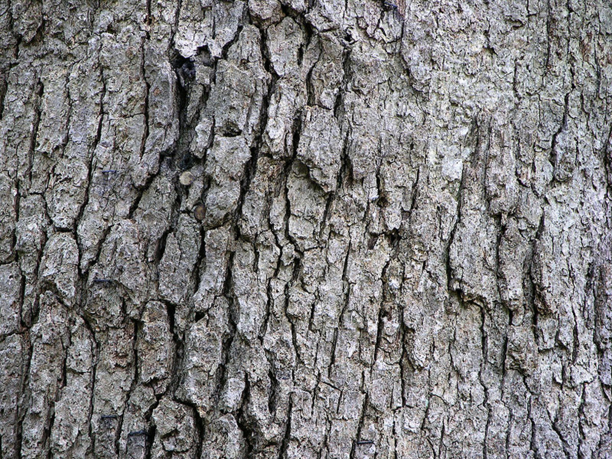 Eastern white oak bark