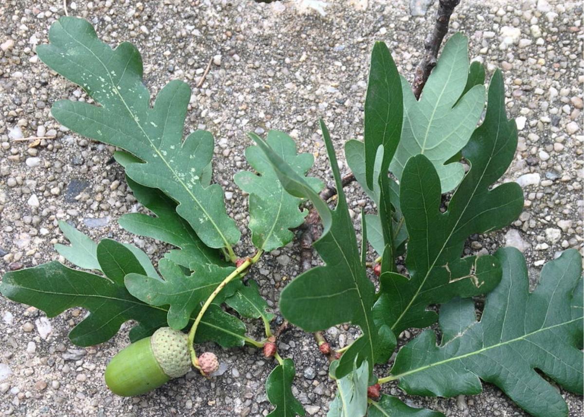 Eastern White Oak Leaves and Acorn