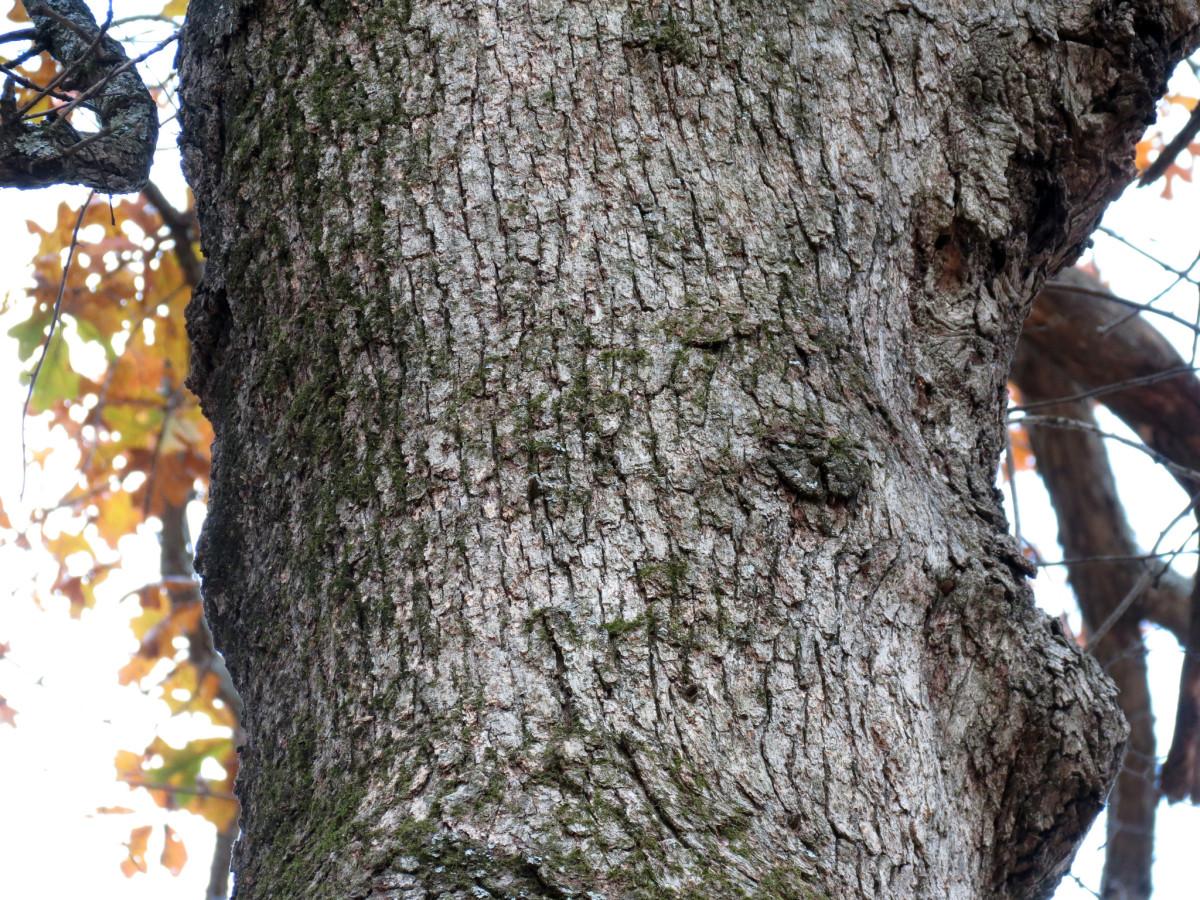 Post Oak Bark
