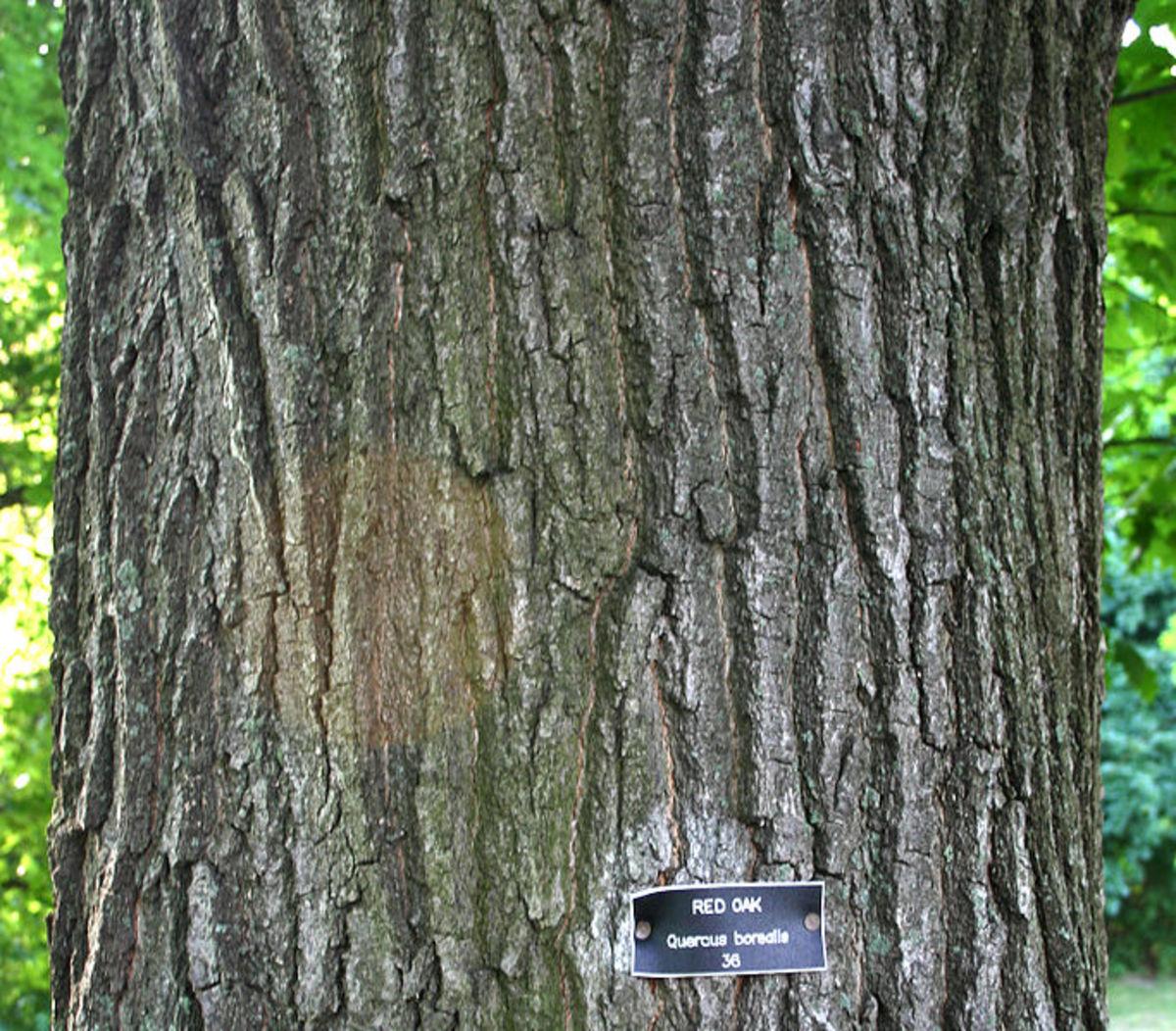 Northern Red Oak Bark