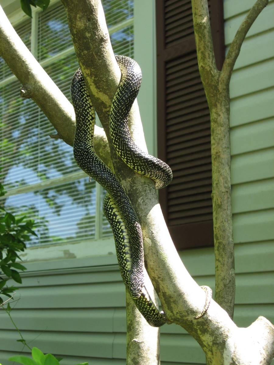 speckled kinsnake in a tree. Photo by Cozcoz, This work is licensed under the Creative Commons Attribution-ShareAlike 3.0 License.