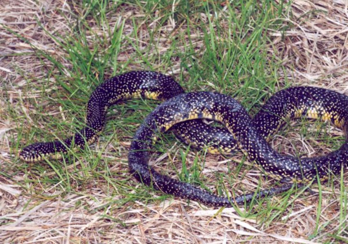 a-hillbilly-guide-to-snakes-the-speckled-kingsnake