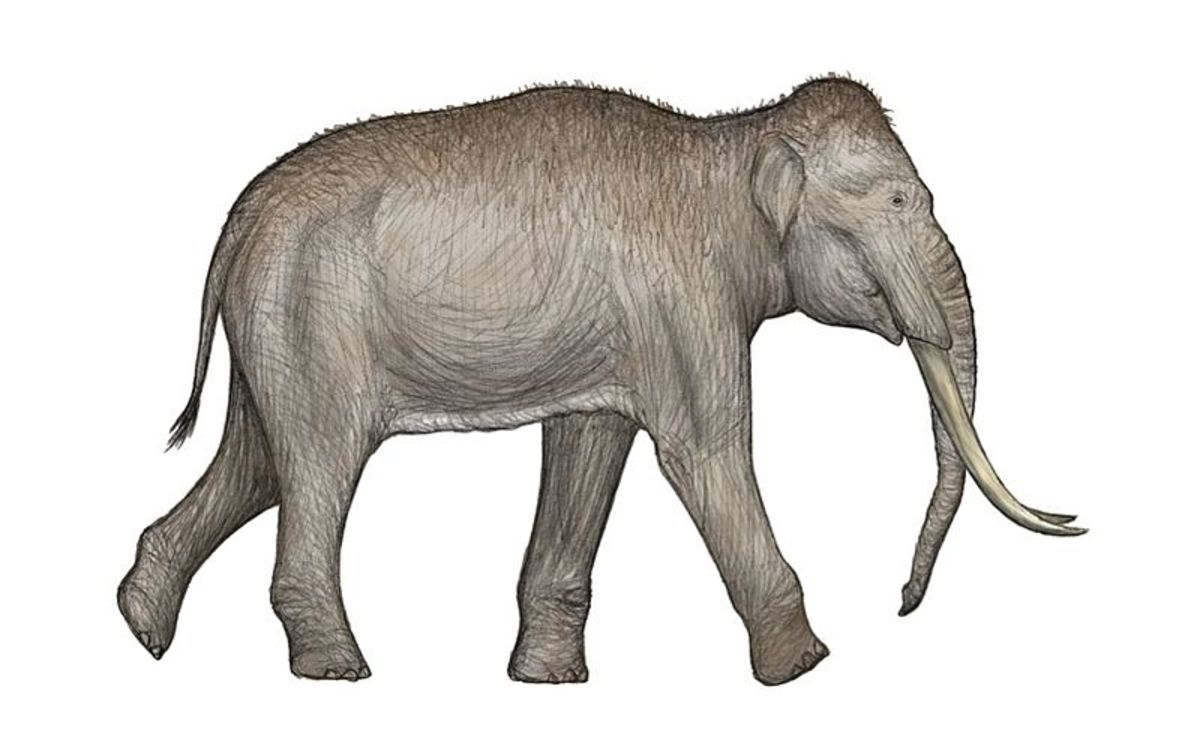 The strange- the straight tusked elephant was a prehistoric relative of the Asian elephant that lived in Europe during warmer phases of the ice age.