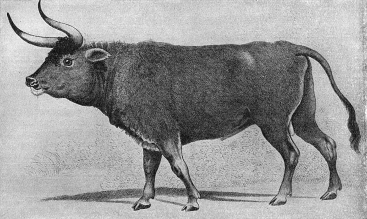 This is a copy of a painting dating from the 16th century drawn by Charles Hamilton Smith. The aurochs still existed in pure form until the 1600s.