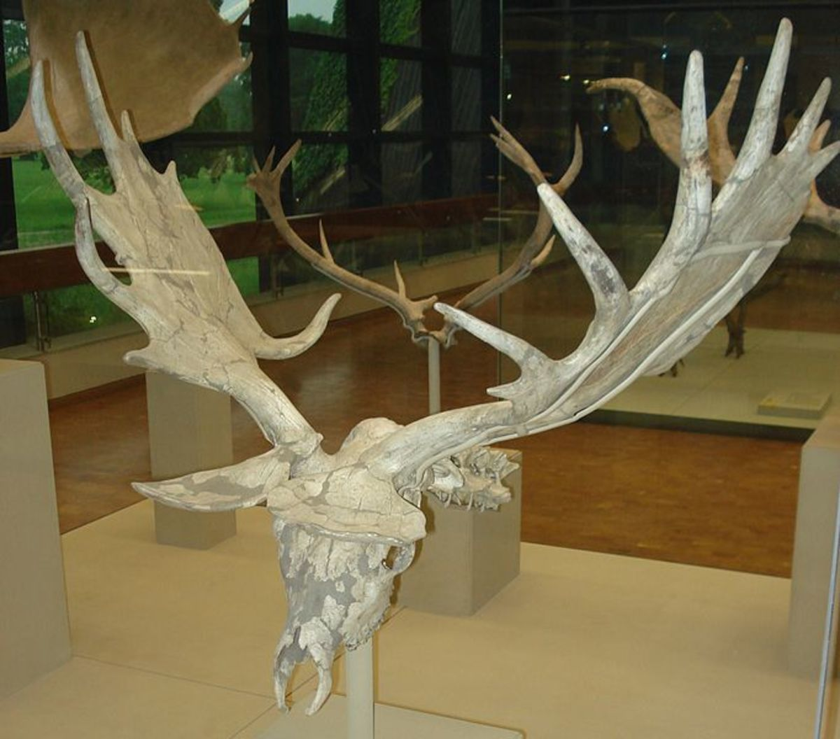 The impressive skull of the giant deer complete with those formidable antlers.