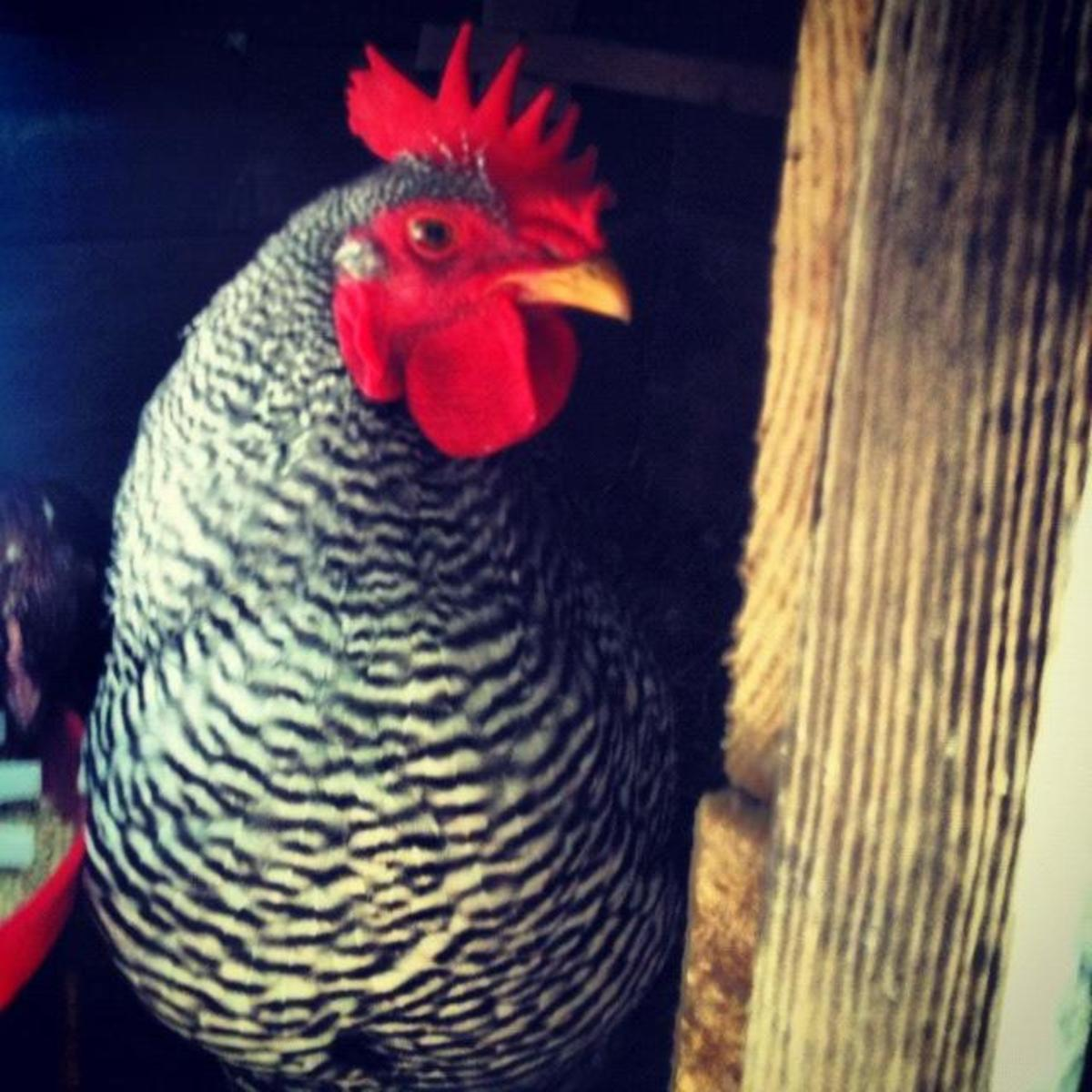 Our Barred Rock rooster, Zeus or Zeusie as I like to call him!