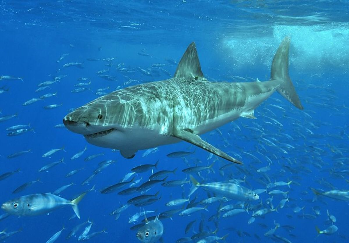 Great white sharks can grow to lengths of over 20 feet, though some claim they can get much larger.