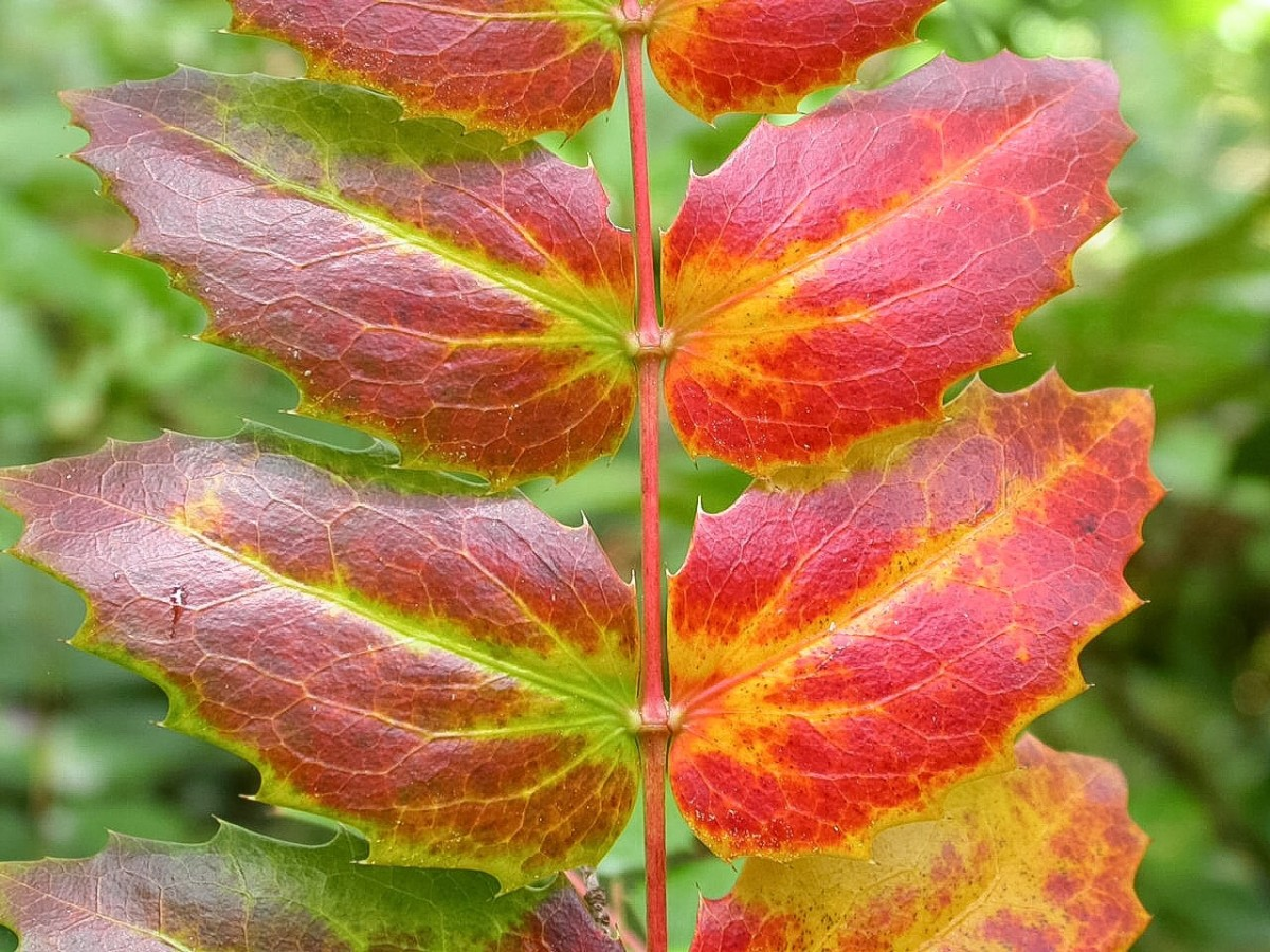Oregon grape leaves sometimes develop a beautiful red colour as they age.