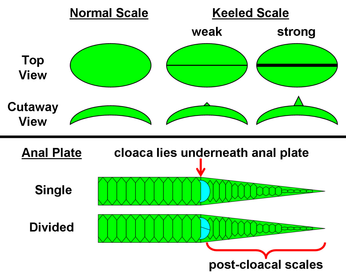 Comparison of normal, smooth scales to scales that possess a ridge down the middle (keel) of varying strengths (weak-strong).  The anal plate can either be intact or split and covers the cloaca, directly preceding the post-cloacal scales on the tail.