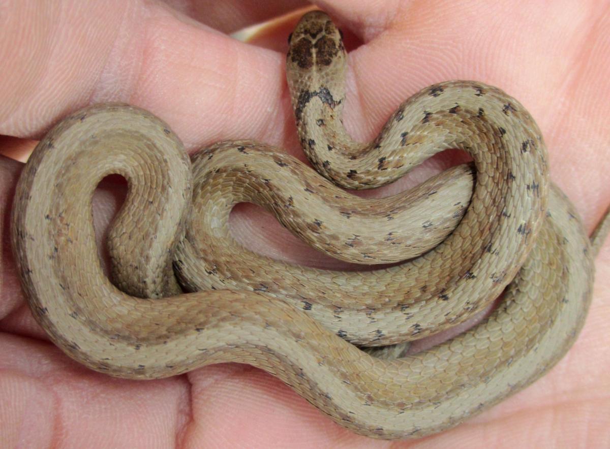 Midland Brown Snake (Storer decay wrightorum) found throughout Indiana.