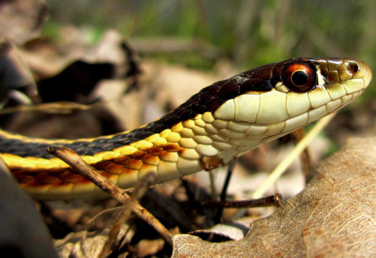 Northern Ribbon Snake (Thamnophis sauritus septentrionalis) found in northern two-thirds of the state.
