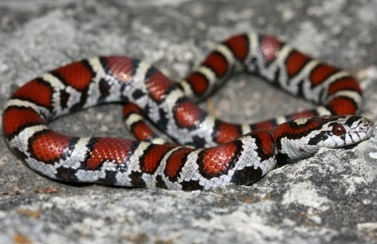 Red Milk Snake (Lampropeltis triangulum syspila) found in southwestern Indiana.