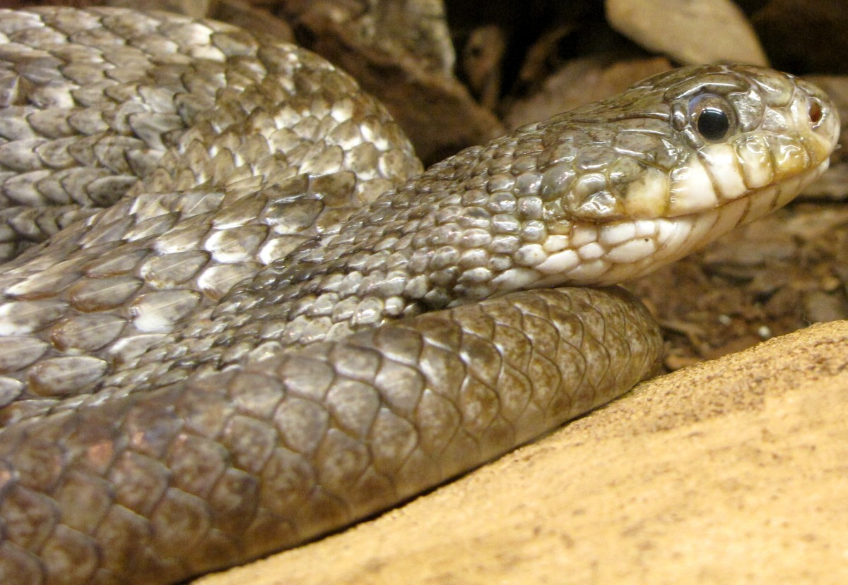 Gray Rat Snake (Pantherophis spiloides), showing the dark blotches on dorsum of neck that extend down sides to the belly.