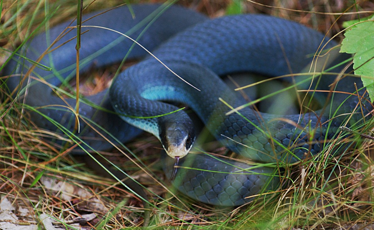 Blue Racer (Coluber constrictor foxil) found in northern two-thirds of the state.