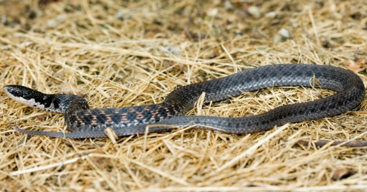 Kirtland's Snake (Clonophis kirtlandii) found everywhere in the state except the southwestern corner.