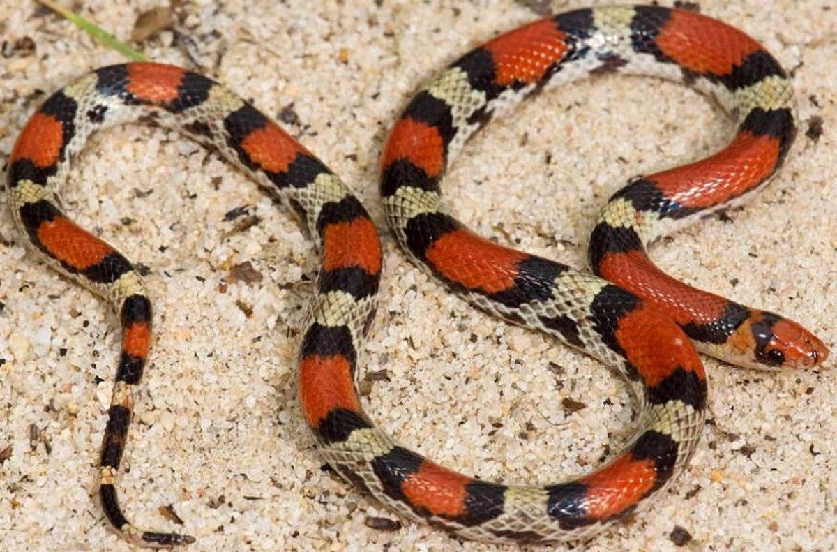 Northern Scarlet Snake (Cemophora coccinea copei) found only in Floyd County.