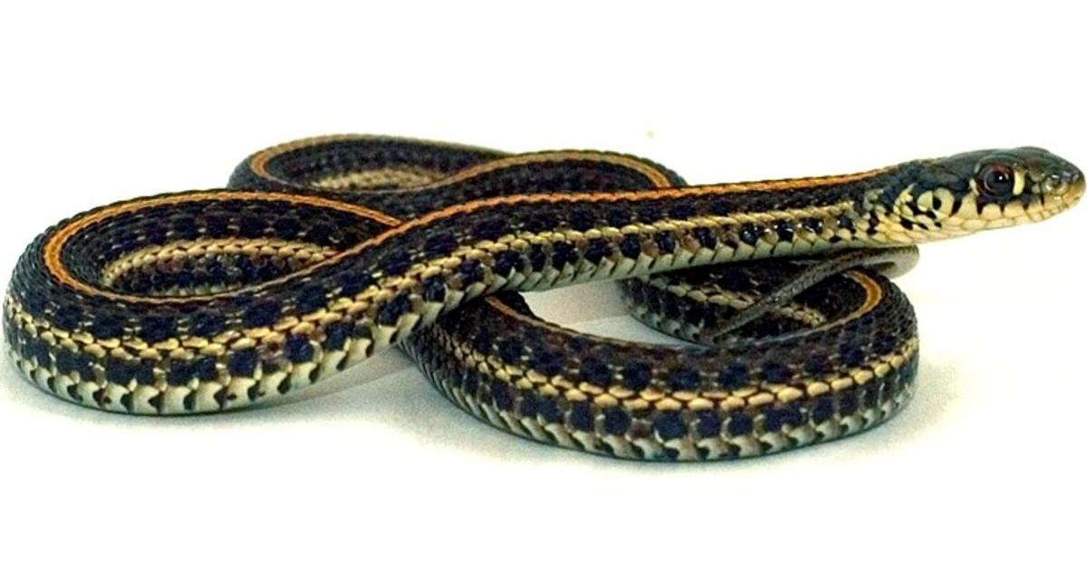 Plains Garter Snake (Thamnophis radix) found in northwestern Indiana.