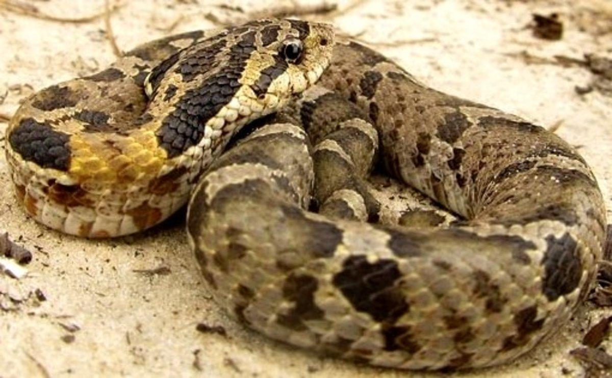 Eastern Hognose Snake (Heterodon platirhinos) found throughout Indiana.