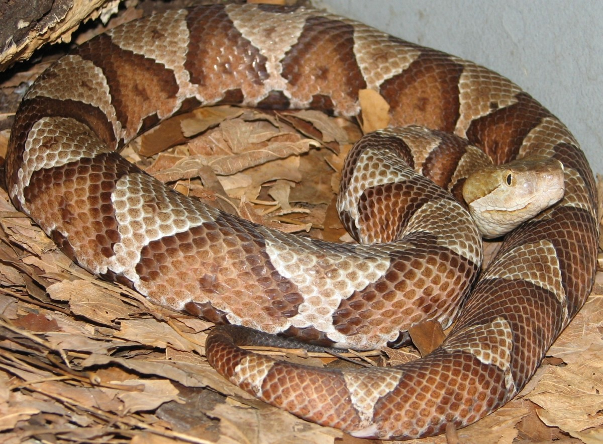 Northern Copperhead (Agkistrodon contortrix moccasin) are found in southern Indiana.