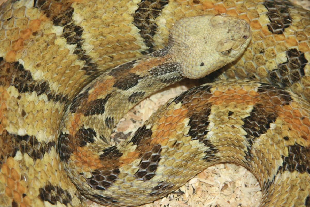The Timber Rattlesnake (Crotalus horrid us), found in southern third of the state.
