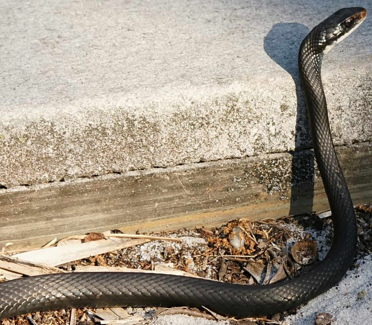 Southern Black Racer (Coluber constrictor priapus) found in southern third of the state.