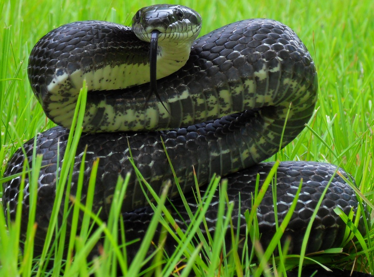 Black Rat Snake (Pantherophis obsoletus) found throughout the state.