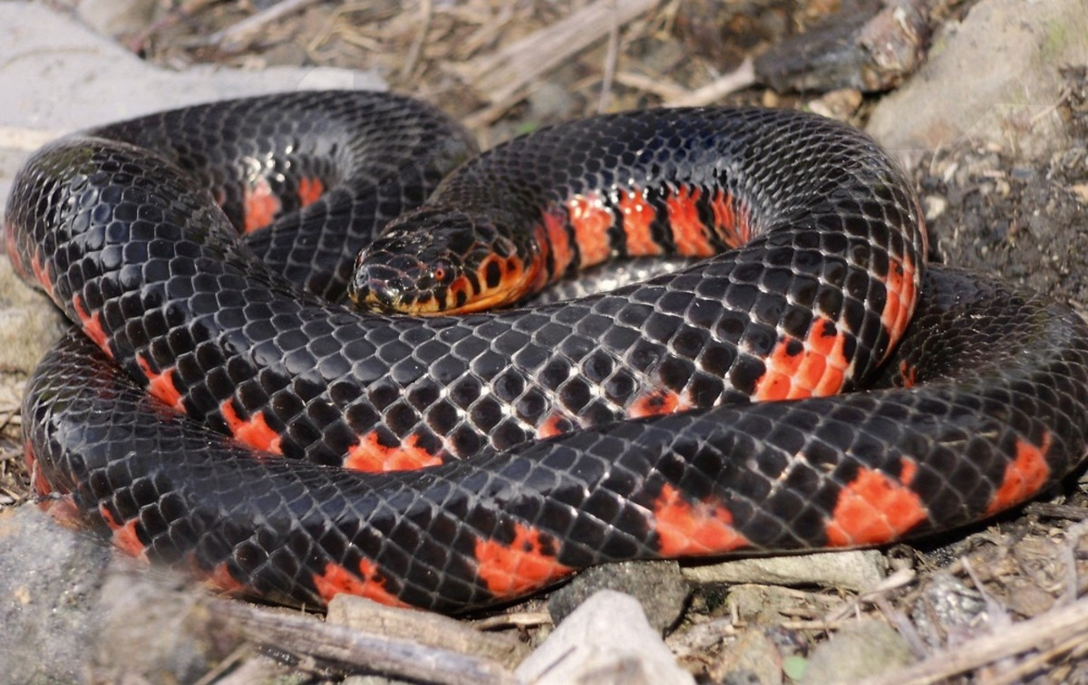 Western Mud Snake (Farancia abacura reinwardtii) formerly found in southwestern tip of the state.