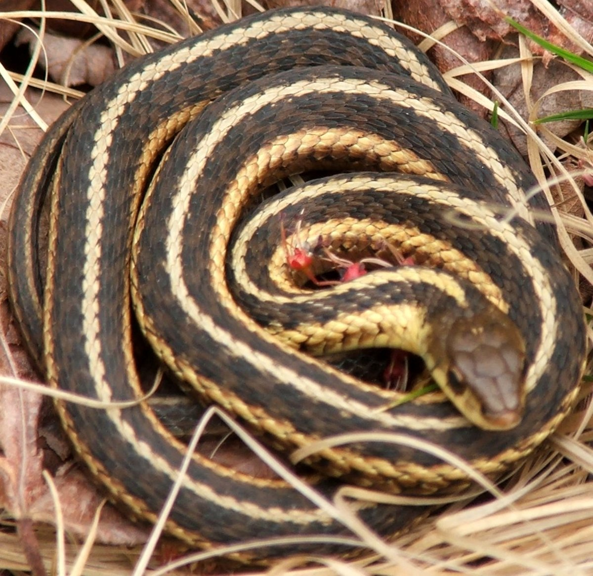 Butler's Garter Snake (Thamnophis butleri) found in northeastern Indiana.