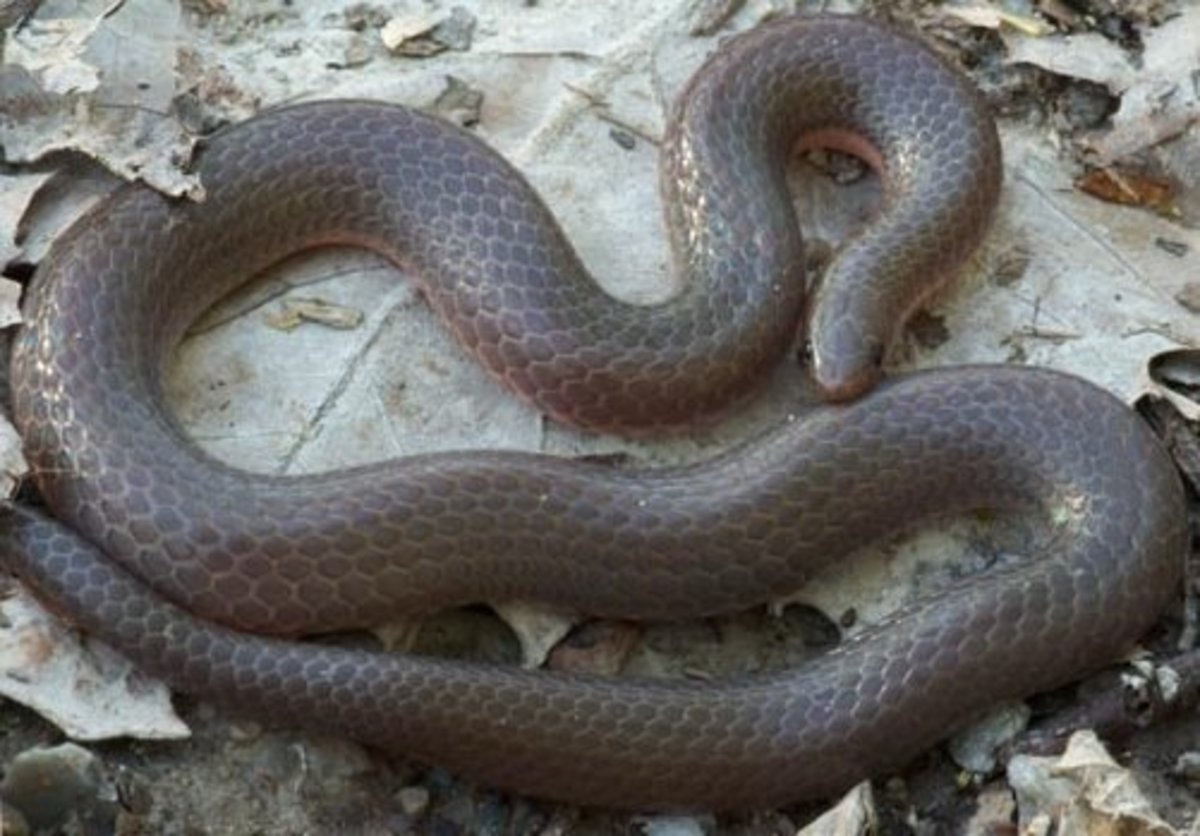 Midwestern Worm Snake (Carphophis amoenus helenae) found in southern Indiana.