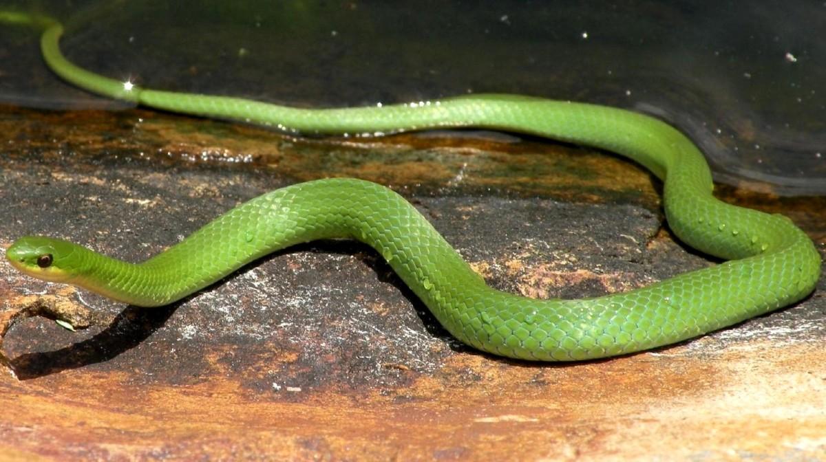 Western Smooth Green Snake (Opheodrys vernalis blanchard) found in northwestern Indiana.