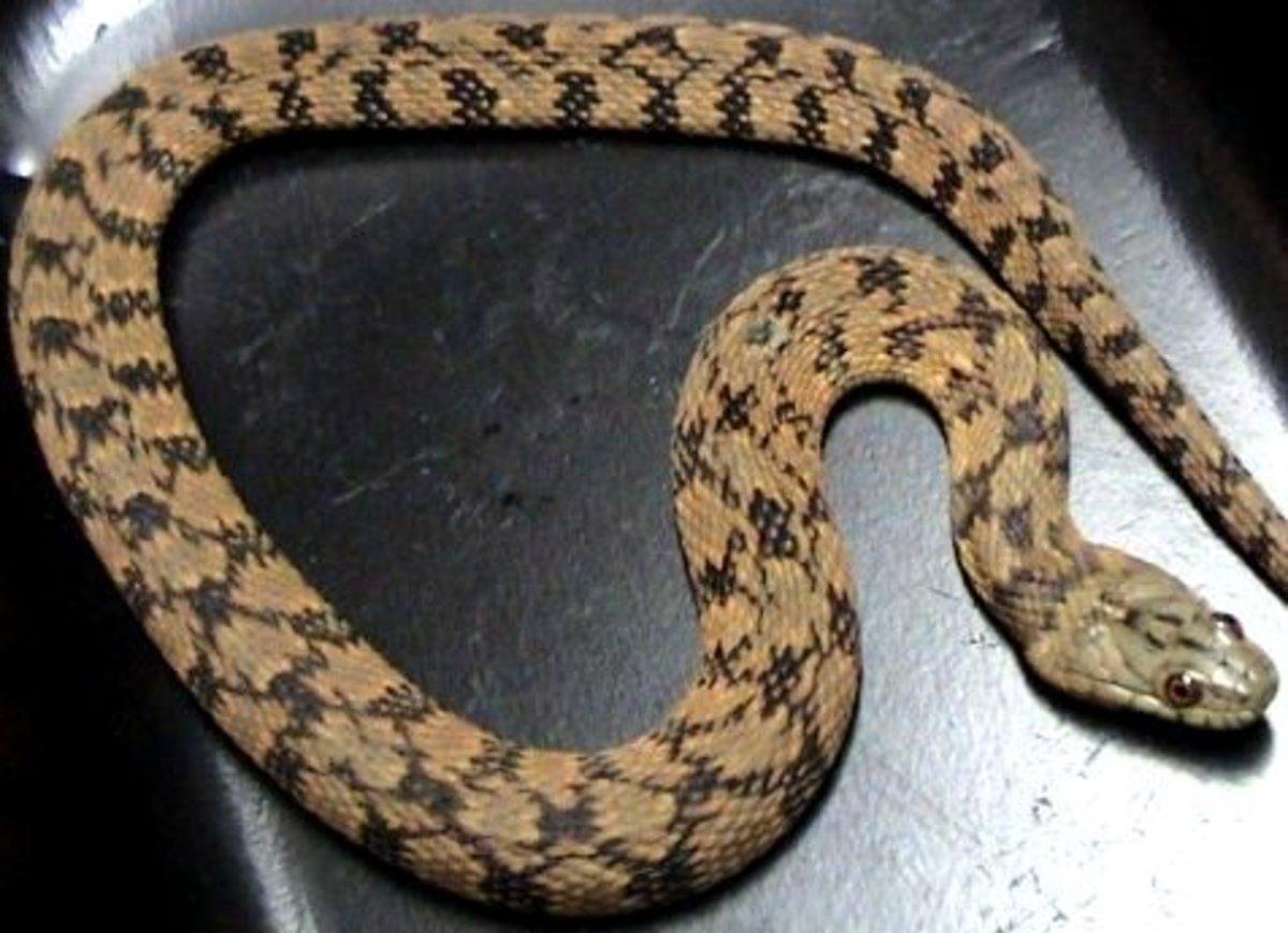 Northern Diamondback Water Snake (Nerodia rhombifer rhombifer) found in the southwestern corner of the state.
