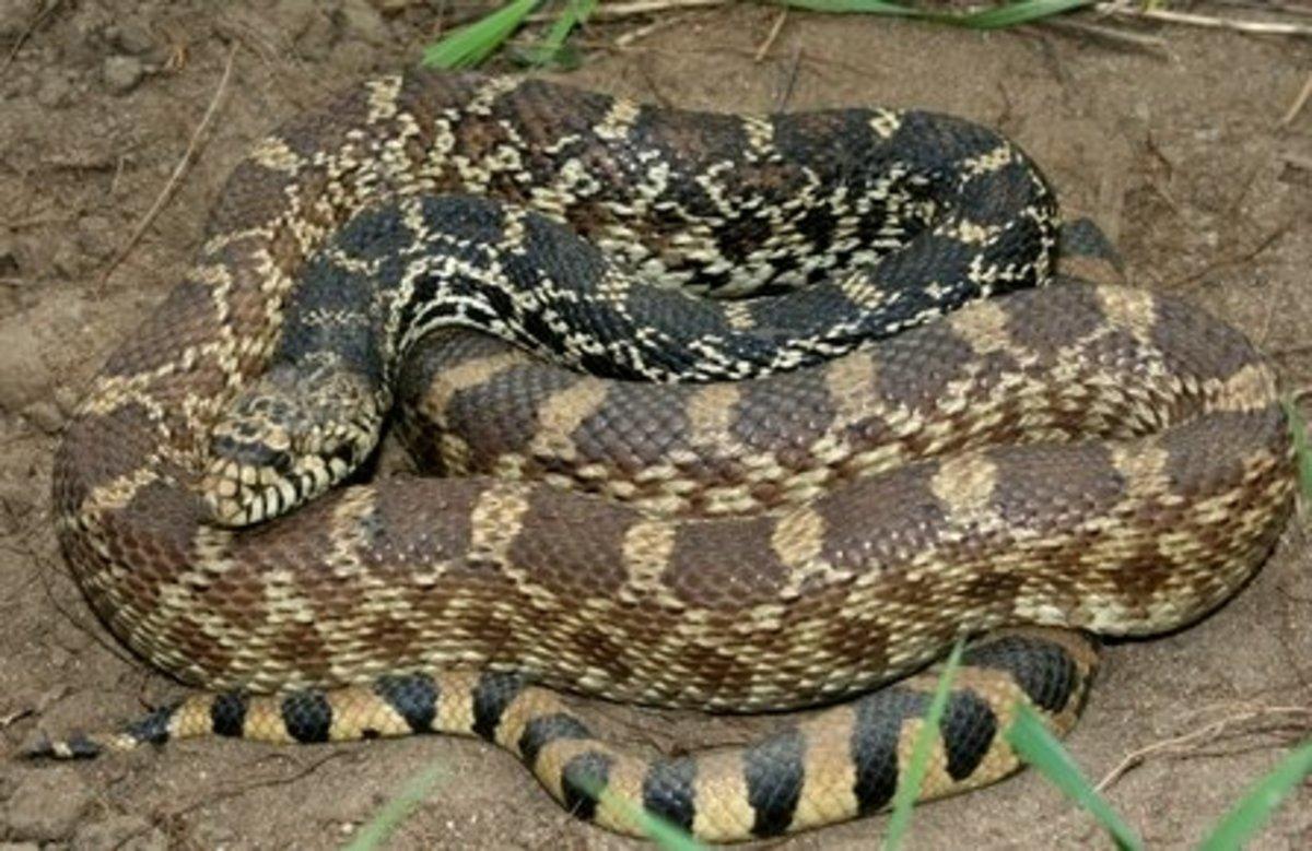 Bullsnake (Pituophis catenifer sayi) found in northwestern Indiana.
