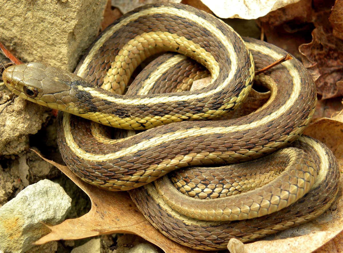 Eastern Garter Snake (Thamnophis sirtalis sirtalis), found throughout Indiana. The Chicago Garter Snake has black vertical bars interrupting the side stripes near the neck.