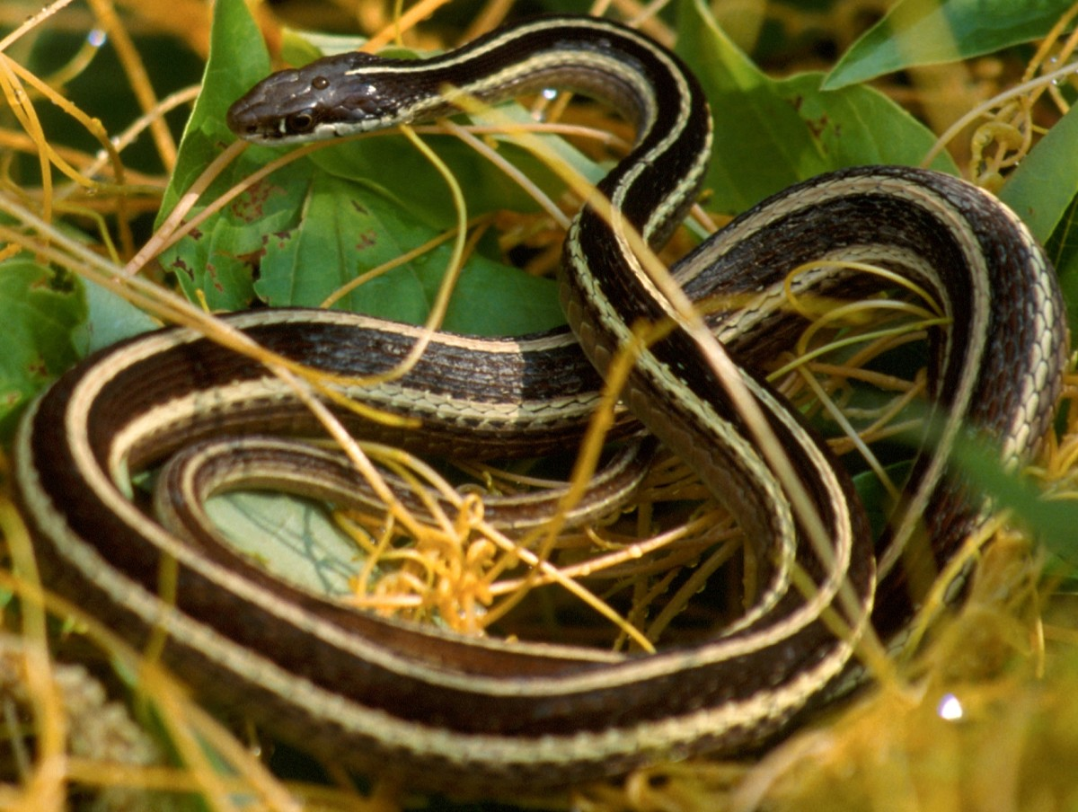 Eastern Ribbon Snake (Thamnophis sauritus sauritus) found in southwest and south-central Indiana.