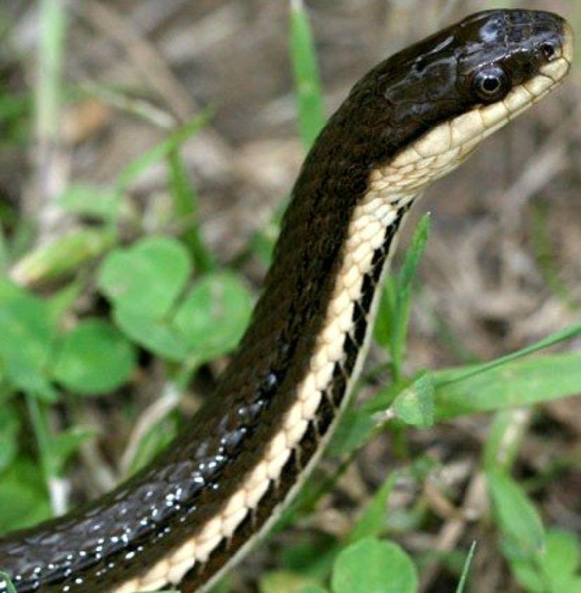 Queen Snake (Regina septemvittata) found everywhere in Indiana but the southwestern corner.