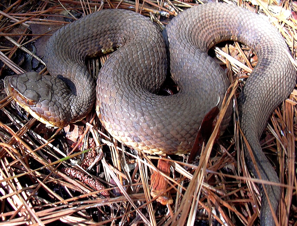 The Western Cottonmouth (Agkistrodon piscivores leucostoma) is only found in Dubois and Harrison counties.