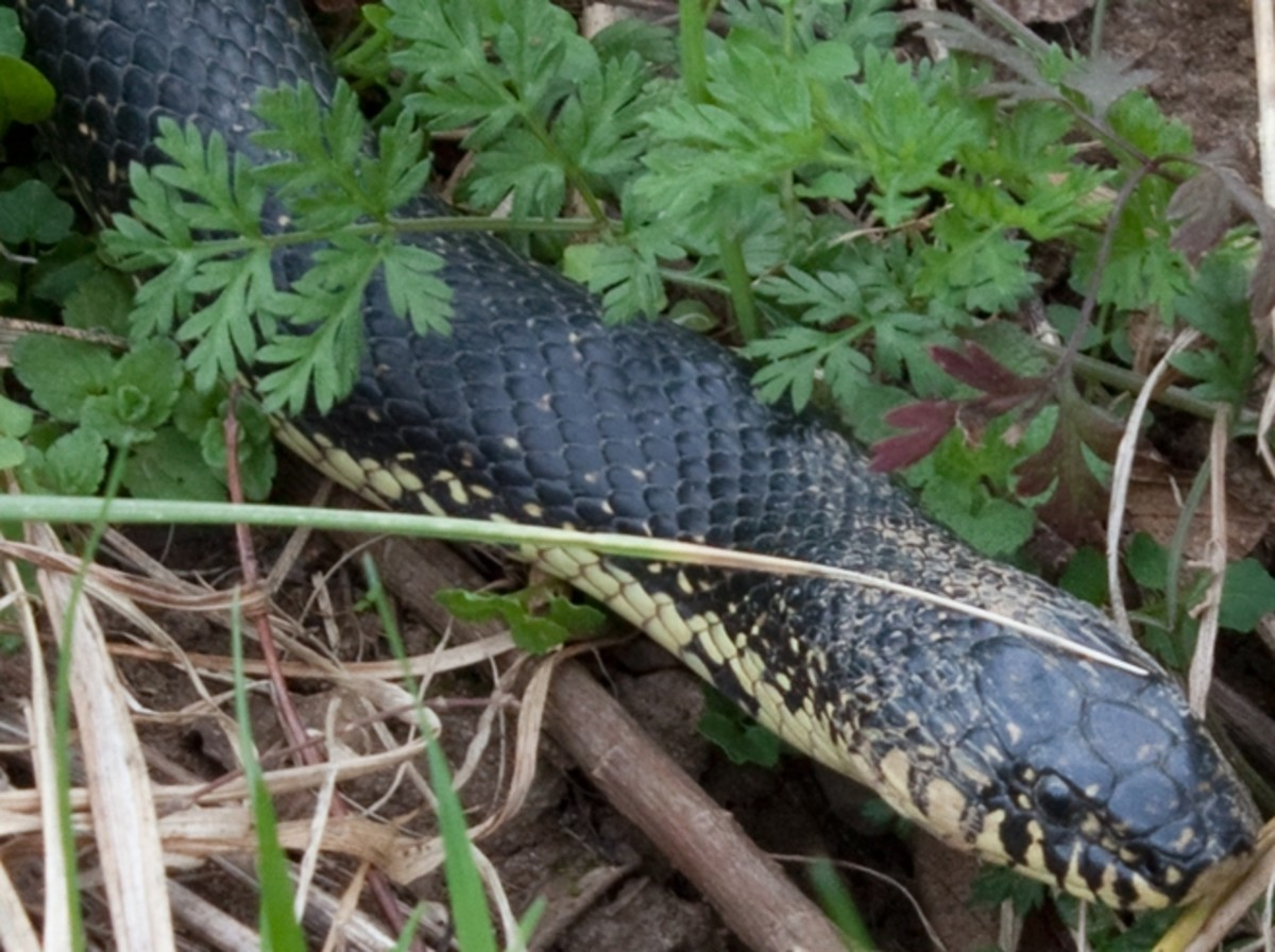 Black Kingsnake (Lampropeltis nigra) found in southwestern third of the state.