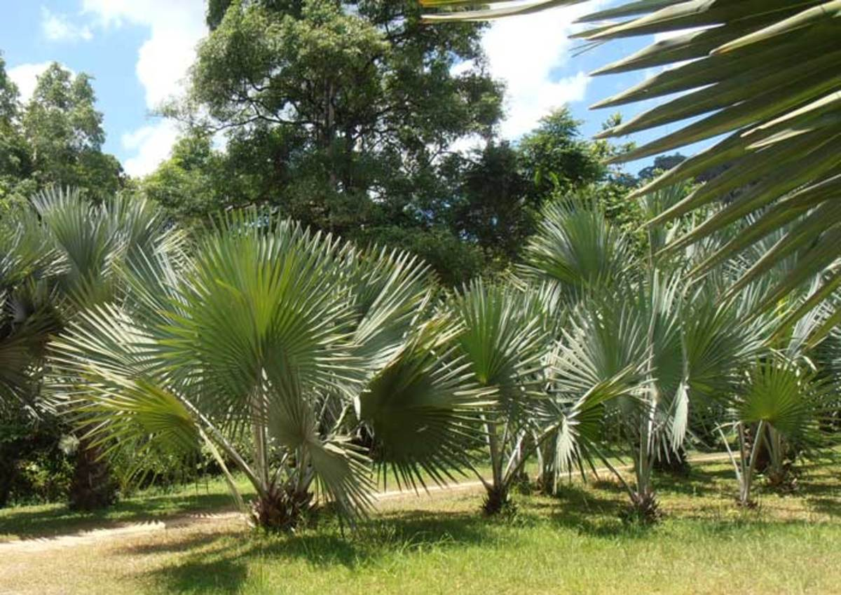 A row of young Bismarck Palms in Thailand. Leaves become more silvery as the plant grows.