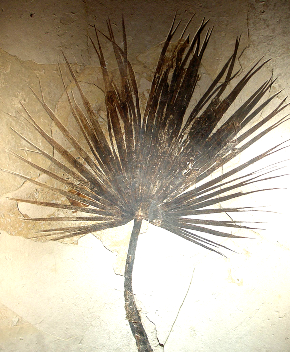 A fossilized palm from the US.